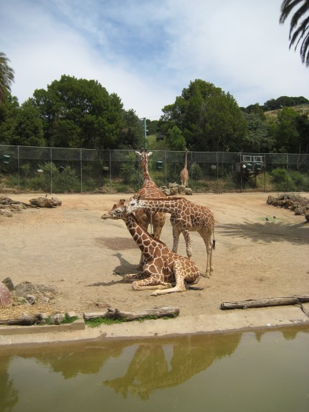 Giraffes at the Oakland Zoo